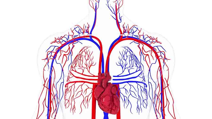 human circulatory system figure